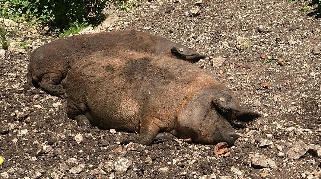 Wildpark Ernstbrunn Ausflug - Meine Erfahrung - Schweine