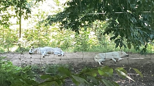 Wildpark Ernstbrunn Ausflug - Meine Erfahrung - Wölfe