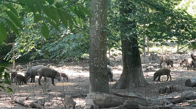 Wildpark Ernstbrunn Ausflug - Meine Erfahrung - Wildschweine